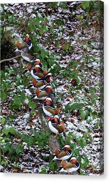 Mandarin Ducks Canvas Print