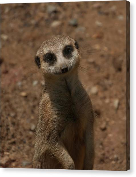 Canvas Print featuring the photograph Meerkat by Chris Flees
