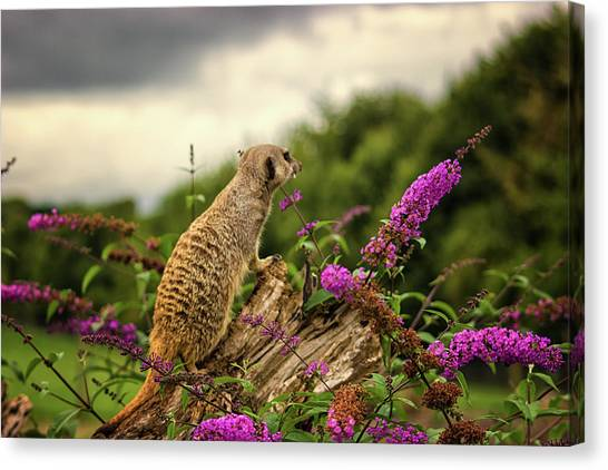 Small Mammals Canvas Print - Meerkat Lookout by Martin Newman
