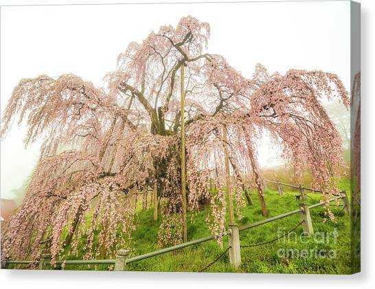 Miharu Takizakura Weeping Cherry02 Canvas Print