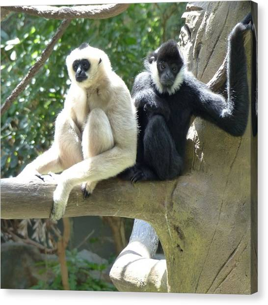 Primates Canvas Print - Gibbons At Minnesota Zoo by Laurie Gresch