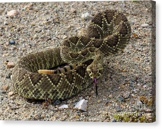 Poisonous Snakes Canvas Print - Mohave Green Rattlesnake Striking Position 4 by Bob Christopher