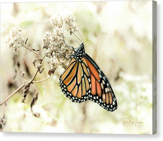 Monarch #1 Canvas Print