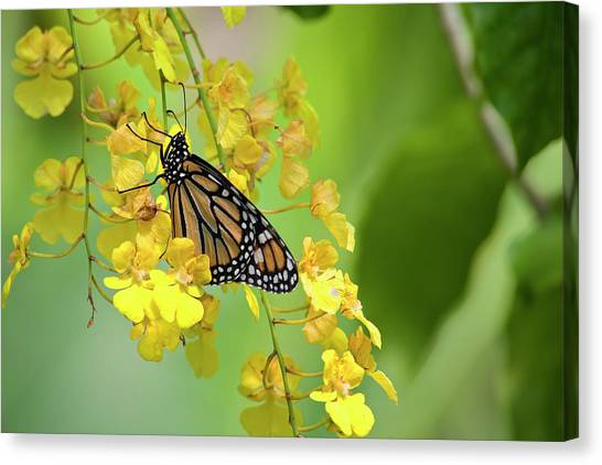 Monarch Butterfly On Yellow Orchids Canvas Print