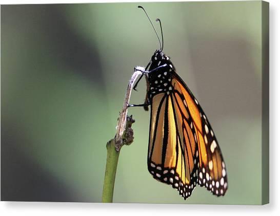 Monarch Butterfly Stony Brook New York Canvas Print