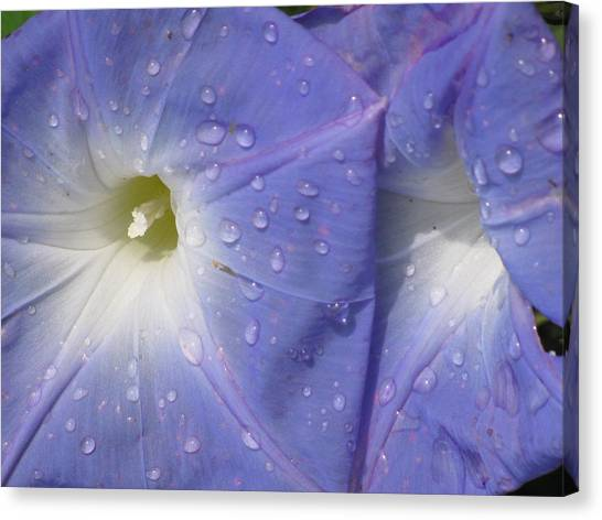 Morning Glory Canvas Print by Alfred Ng