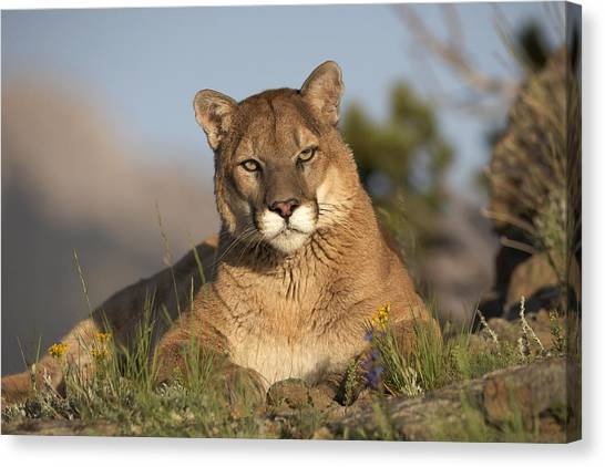 Canvas Print featuring the photograph Mountain Lion Portrait North America by Tim Fitzharris