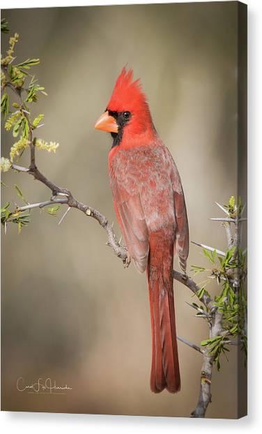 Northern Cardinal Cfh17765 Canvas Print