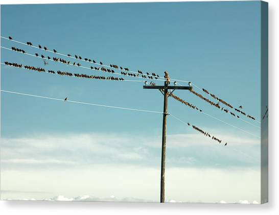 Starlings Canvas Print - Not Like The Others by Todd Klassy