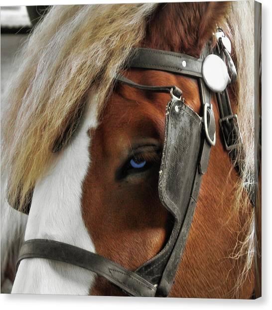 Old Blue Eyes Canvas Print by Dressage Design