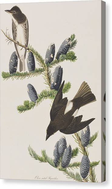 Flycatchers Canvas Print - Olive Sided Flycatcher by John James Audubon