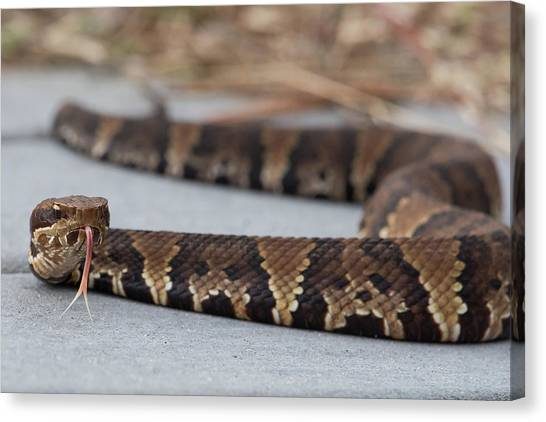 Cottonmouths Canvas Print - On Approach by MCM Photography