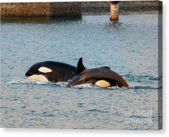 Orcas Canvas Print - On The Hunt by Mike Dawson
