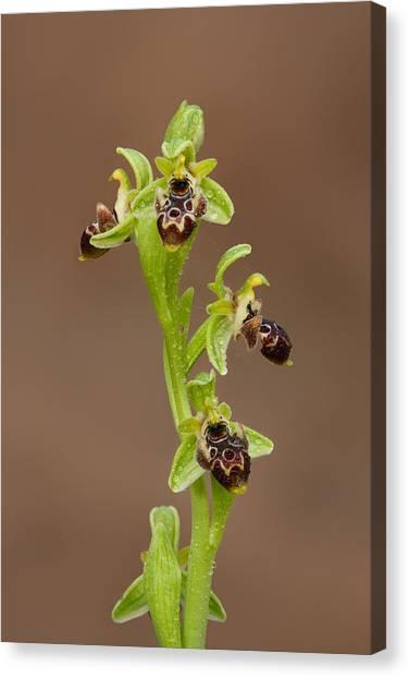 Ophrys Carmeli Canvas Print by Yuri Peress