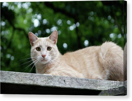 Canvas Print - Orange Tabby by Megan Cohen