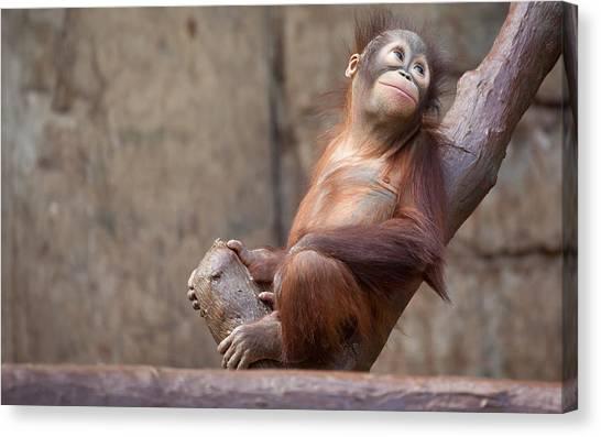 Orangutans Canvas Print - Orangutan by Maye Loeser