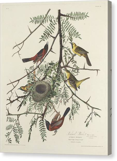 Wild Orchards Canvas Print - Orchard Oriole by Dreyer Wildlife Print Collections