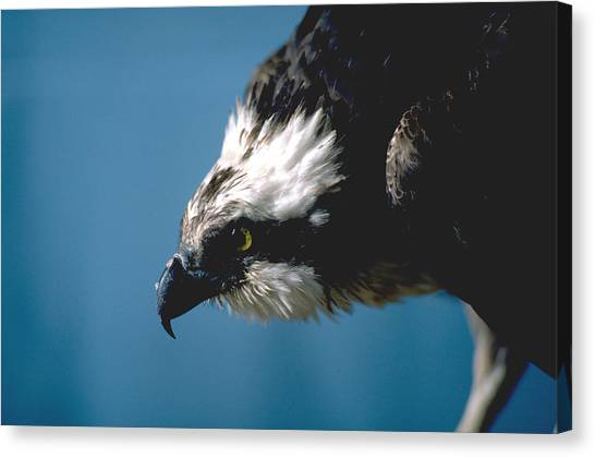 Osprey Canvas Print - Osprey by Super Lovely