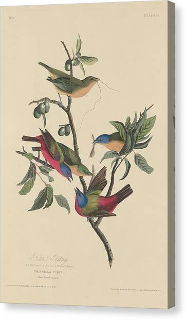 Bunting Canvas Print - Painted Bunting by Dreyer Wildlife Print Collections