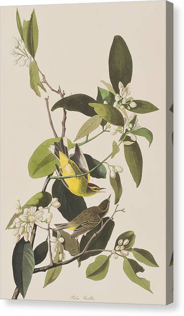 Warbler Canvas Print - Palm Warbler by John James Audubon