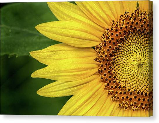 Partial Sunflower Canvas Print