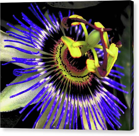 Passionfruit Canvas Print - Passion Flower by Martin Newman