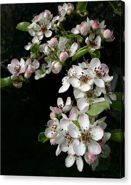 Pear Blossoms Canvas Print by Wilbur Young
