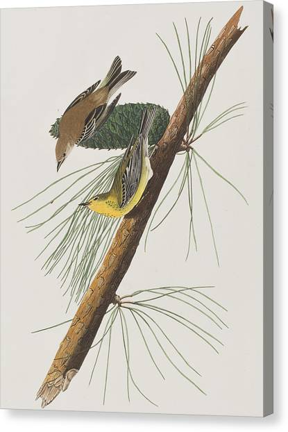 Warblers Canvas Print - Pine Creeping Warbler by John James Audubon