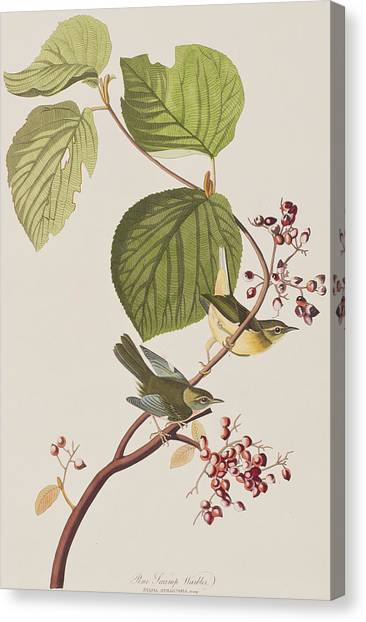 Warblers Canvas Print - Pine Swamp Warbler by John James Audubon