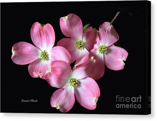Pink Dogwood Branch Canvas Print