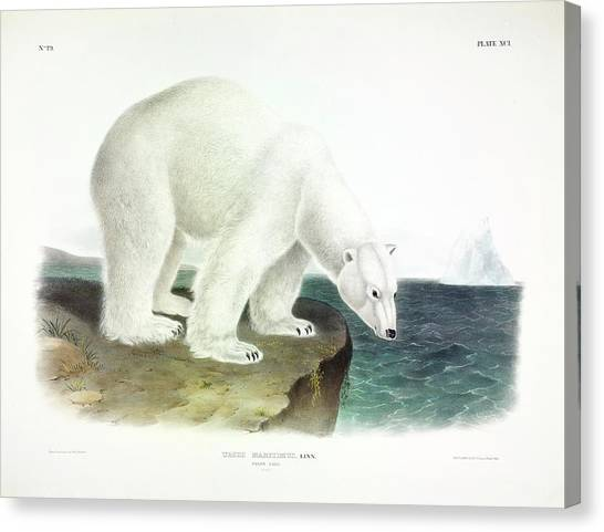 Bear Claws Canvas Print - Polar Bear by John James Audubon