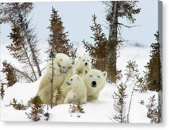 Canvas Print featuring the photograph Polar Bear Ursus Maritimus Trio by Matthias Breiter