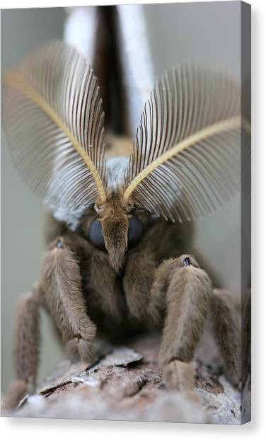 Polyphemus Moth Canvas Print by Betsy LaMere