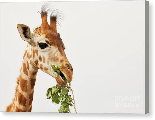 Canvas Print featuring the photograph Portrait Of A Rothschild Giraffe  by Nick Biemans