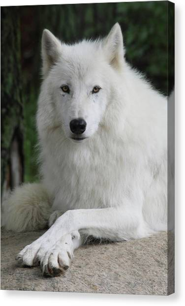 Arctic Wolf Canvas Print - Posing For The Camera by Gerry Sibell