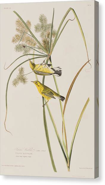 Warblers Canvas Print - Prairie Warbler by John James Audubon