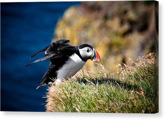 Puffins Canvas Print - Puffin by Mariel Mcmeeking