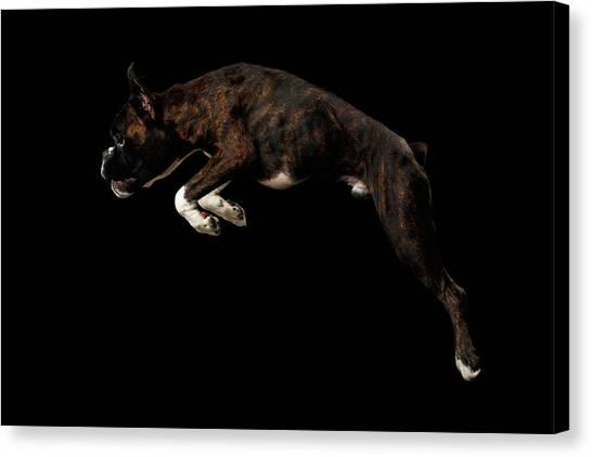 Boxer Dog Canvas Print - Purebred Boxer Dog Isolated On Black Background by Sergey Taran