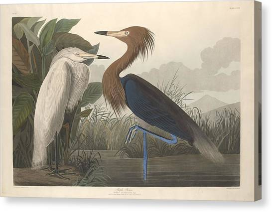 Ibis Canvas Print - Purple Heron by Dreyer Wildlife Print Collections