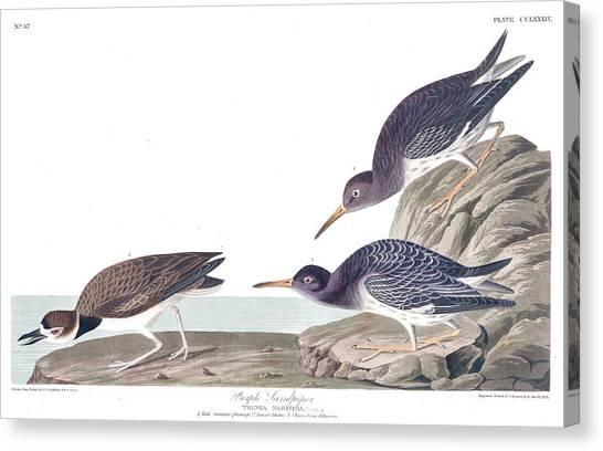 Sandpipers Canvas Print - Purple Sandpiper by John James Audubon