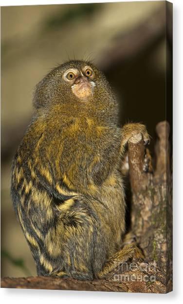 Pigmy Canvas Print - Pygmy Marmoset Callithrix Pygmaea by Gerard Lacz