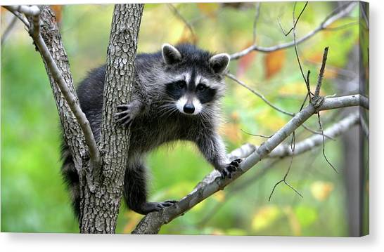 Raccoons Canvas Print - Raccoon by Jackie Russo