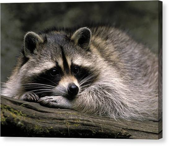Raccoons Canvas Print - Raccoon by Mariel Mcmeeking
