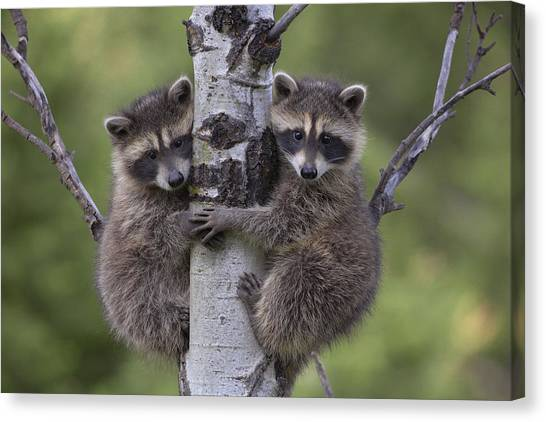 Canvas Print featuring the photograph Raccoon Two Babies Climbing Tree North by Tim Fitzharris