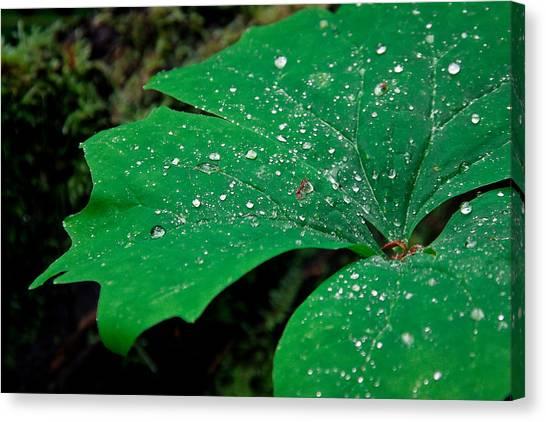Rain Drops On Vanilla Leaf Canvas Print by Jonathan Hansen