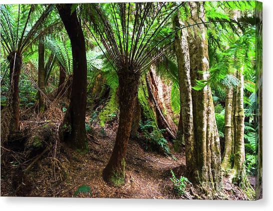 Great Otway National Park Canvas Print - Rain Forest At Melba Gully State Park by Andrew Michael