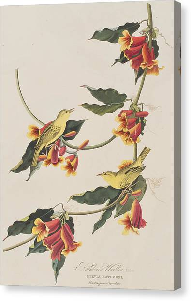 Warblers Canvas Print - Rathbone Warbler by John James Audubon