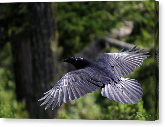 Raven Flight Canvas Print