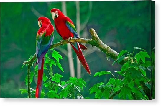 Macaws Canvas Print - Red-and-green Macaw by Jackie Russo
