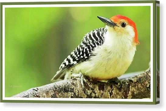 Red Bellied Woodpecker, Male, Animal Portrait Canvas Print